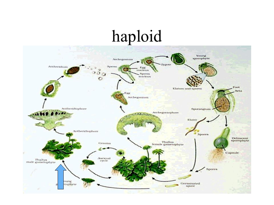 Is this haploid or diploid?