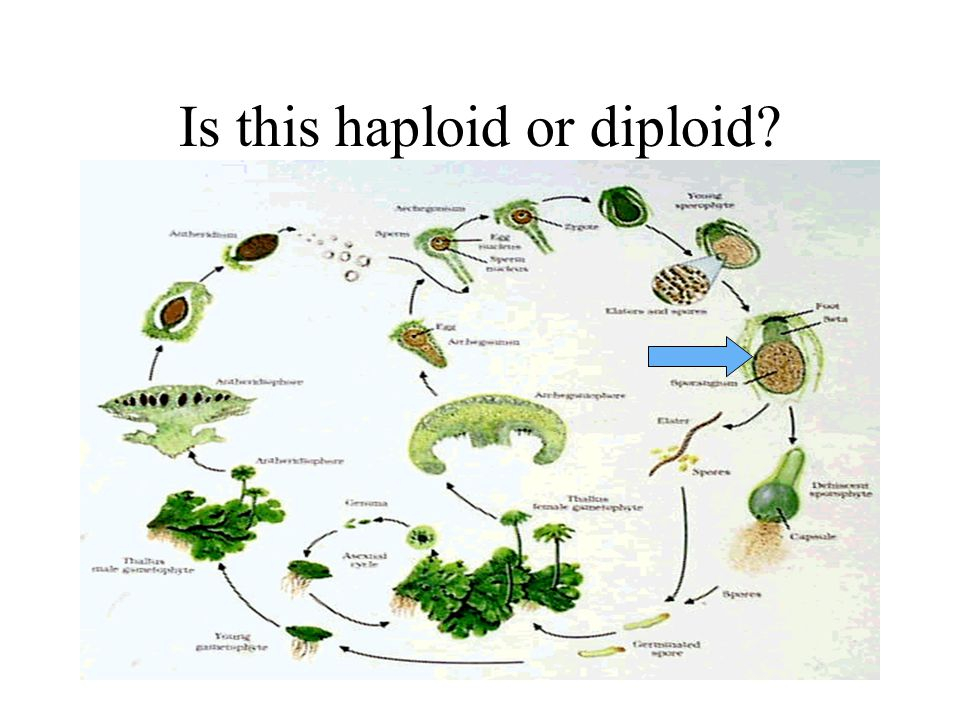 Is this haploid or diploid