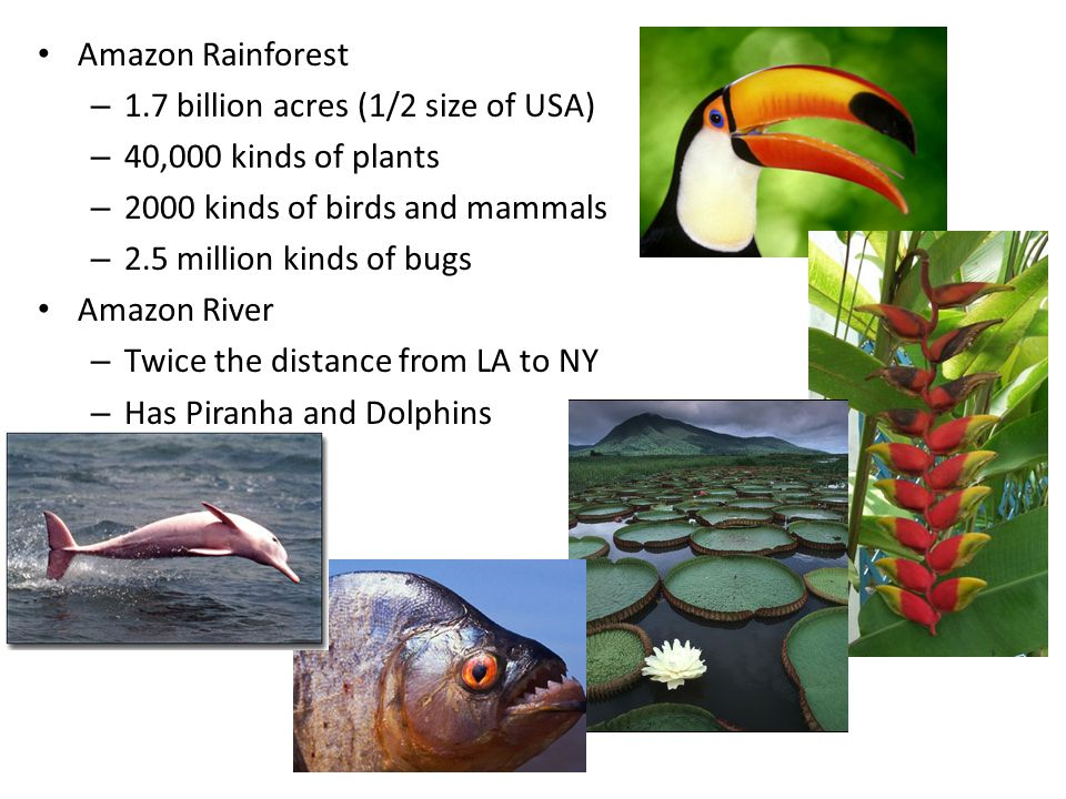 Amazon Rainforest – 1.7 billion acres (1/2 size of USA) – 40,000 kinds of plants – 2000 kinds of birds and mammals – 2.5 million kinds of bugs Amazon River – Twice the distance from LA to NY – Has Piranha and Dolphins