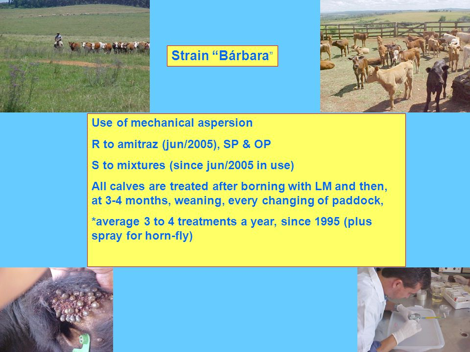 Strain Bárbara Use of mechanical aspersion R to amitraz (jun/2005), SP & OP S to mixtures (since jun/2005 in use) All calves are treated after borning with LM and then, at 3-4 months, weaning, every changing of paddock, *average 3 to 4 treatments a year, since 1995 (plus spray for horn-fly)