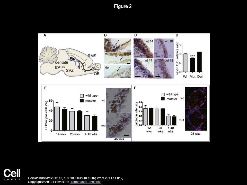 Figure 2 Cell Metabolism 2012 15, 100-109DOI: (10.1016/j.cmet.2011.11.012) Copyright © 2012 Elsevier Inc.