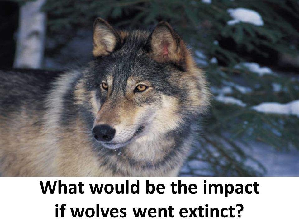 What would be the impact if wolves went extinct?