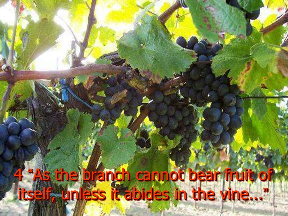 4 As the branch cannot bear fruit of itself, unless it abides in the vine...