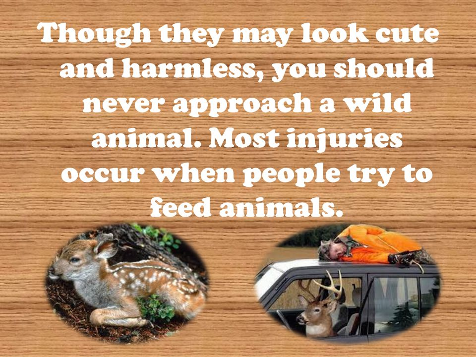 Though they may look cute and harmless, you should never approach a wild animal. Most injuries occur when people try to feed animals.