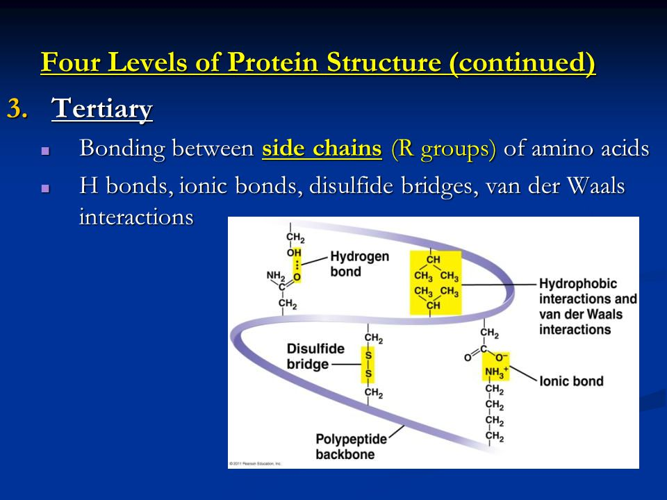 Four Levels of Protein Structure (continued) 3.Tertiary Bonding between side chains (R groups) of amino acids Bonding between side chains (R groups) of amino acids H bonds, ionic bonds, disulfide bridges, van der Waals interactions H bonds, ionic bonds, disulfide bridges, van der Waals interactions