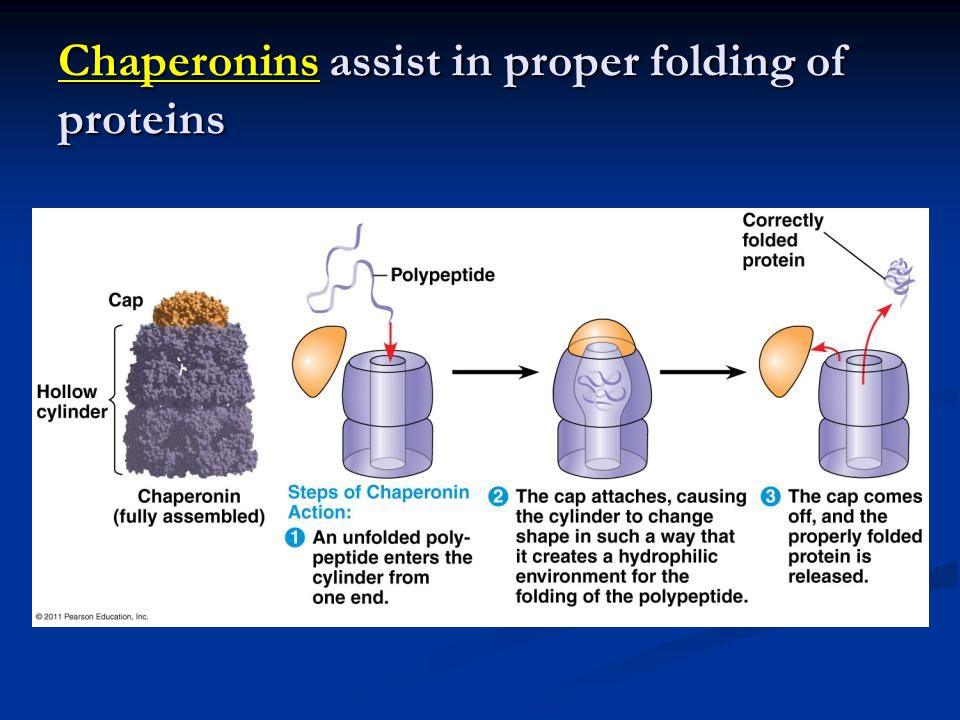 Chaperonins assist in proper folding of proteins