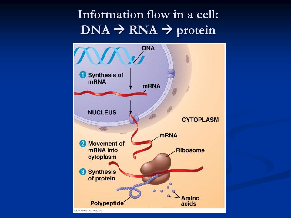 Information flow in a cell: DNA  RNA  protein