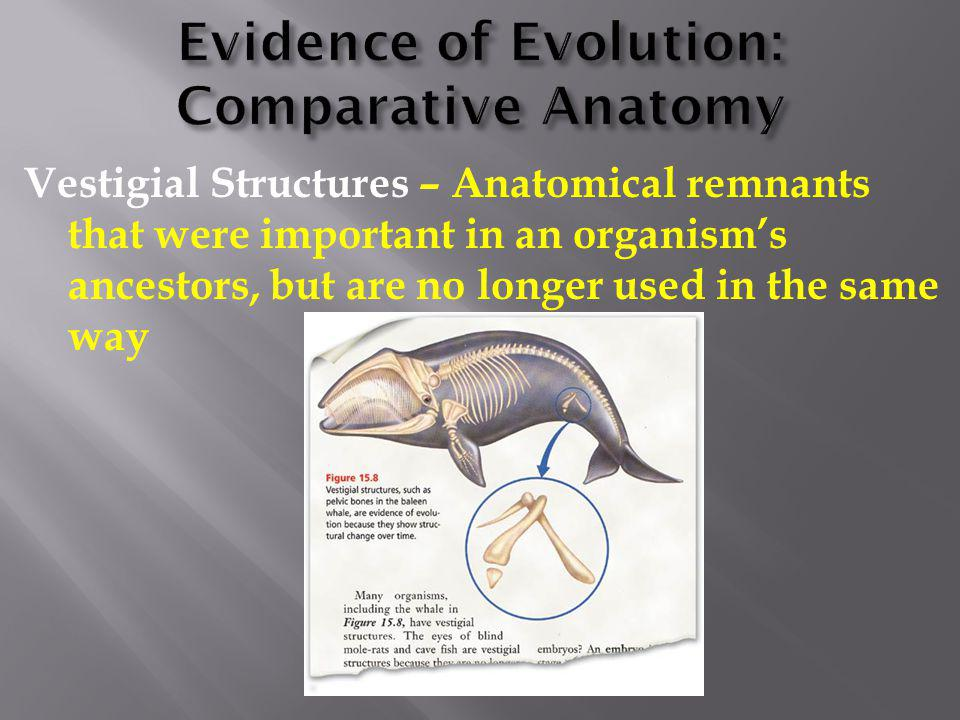 Vestigial Structures – Anatomical remnants that were important in an organism's ancestors, but are no longer used in the same way