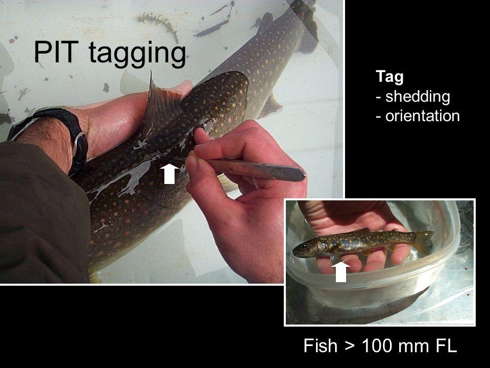 PIT tagging Tag - shedding - orientation Fish > 100 mm FL