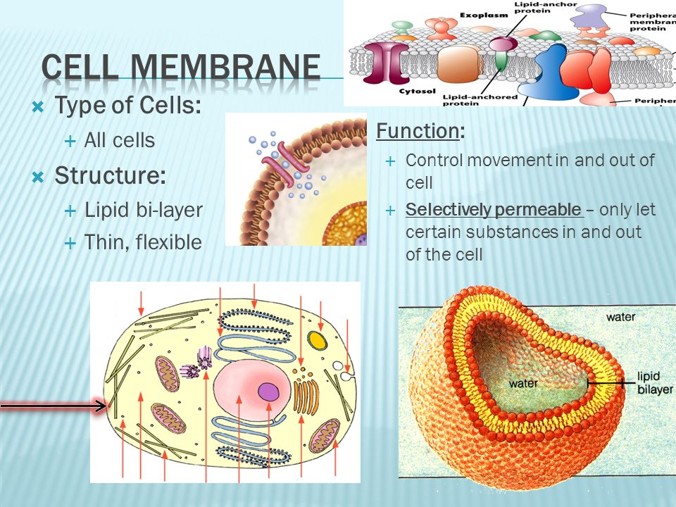  Type of Cells:  All cells  Structure:  Lipid bi-layer  Thin, flexible  Function:  Control movement in and out of cell  Selectively permeable – only let certain substances in and out of the cell
