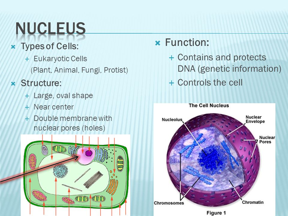  Types of Cells:  Eukaryotic Cells (Plant, Animal, Fungi, Protist)  Structure:  Large, oval shape  Near center  Double membrane with nuclear pores (holes)  Function:  Contains and protects DNA (genetic information)  Controls the cell