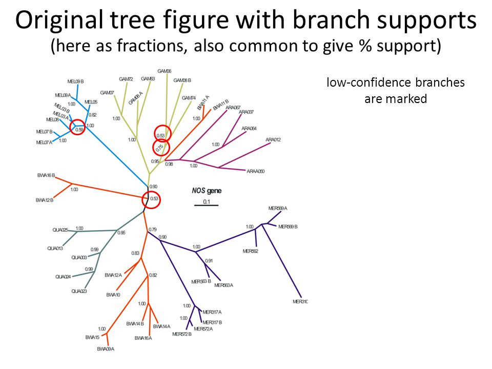 low-confidence branches are marked Original tree figure with branch supports (here as fractions, also common to give % support)