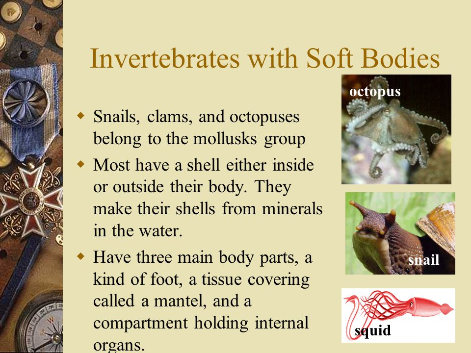 Invertebrates with Soft Bodies  Snails, clams, and octopuses belong to the mollusks group  Most have a shell either inside or outside their body. Th