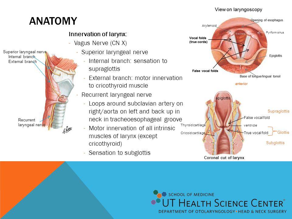 epiglottis False vocal fold True vocal fold Thyroid cartilage Cricoid cartilage ventricle Coronal cut of larynx Superior laryngeal nerve Internal bran