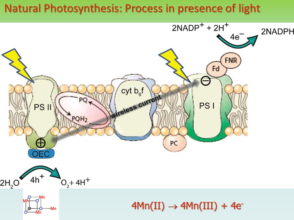 Natural Photosynthesis: Process in presence of light 4Mn(II)  4Mn(III) + 4e -