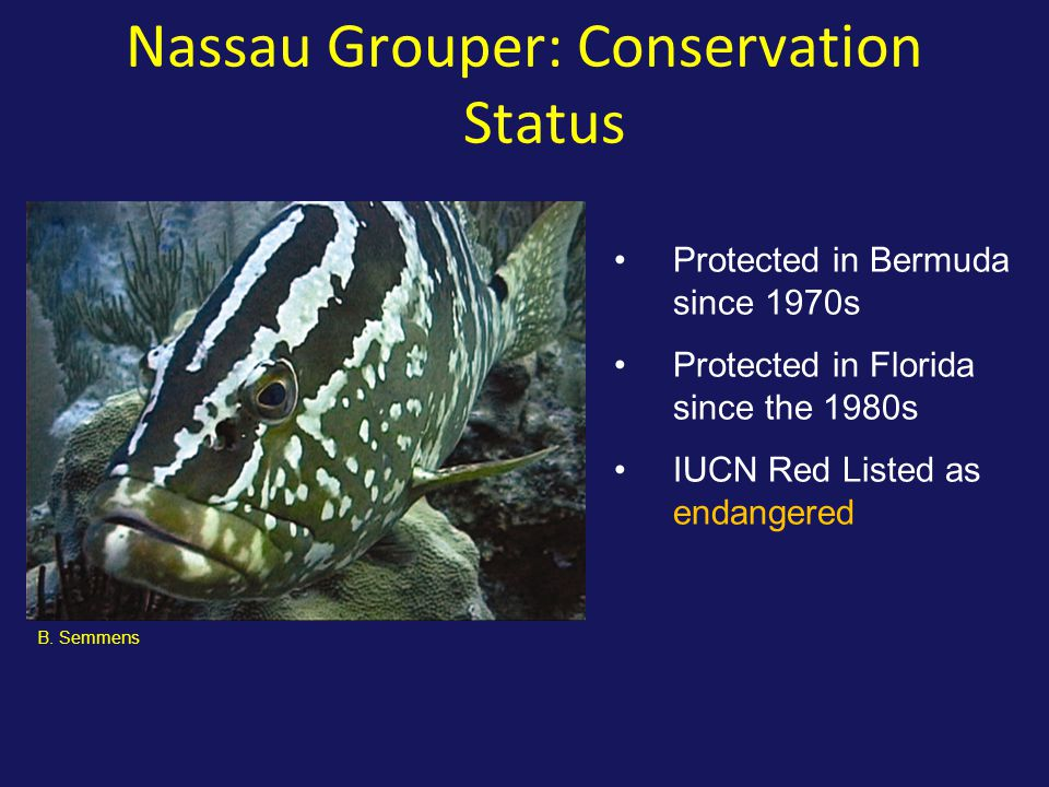 Nassau Grouper: Conservation Status Protected in Bermuda since 1970s Protected in Florida since the 1980s IUCN Red Listed as endangered B.