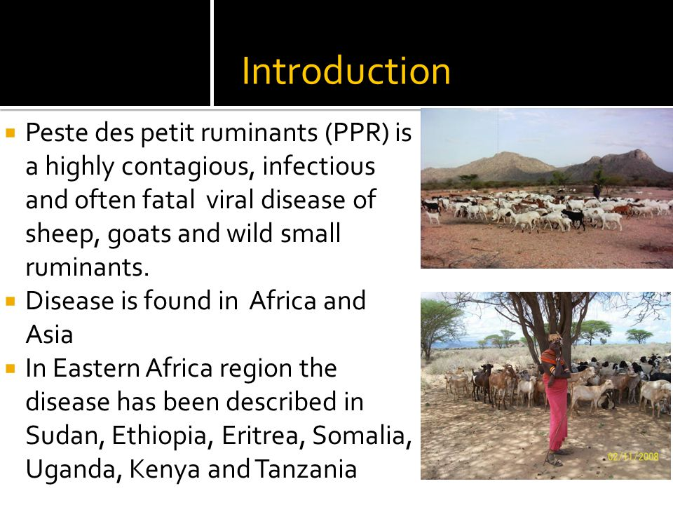Introduction  Peste des petit ruminants (PPR) is a highly contagious, infectious and often fatal viral disease of sheep, goats and wild small ruminants.