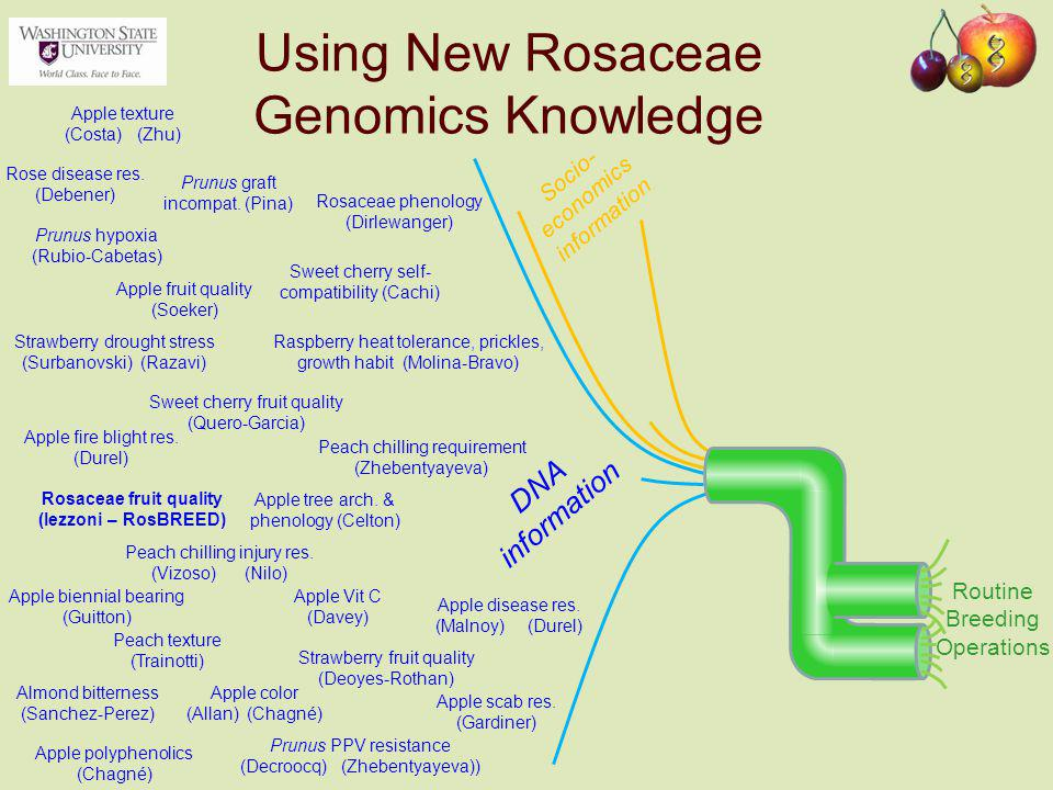 Using New Rosaceae Genomics Knowledge Socio- economics information DNA information Rosaceae fruit quality (Iezzoni – RosBREED) Rosaceae phenology (Dirlewanger) Sweet cherry fruit quality (Quero-Garcia) Peach chilling injury res.