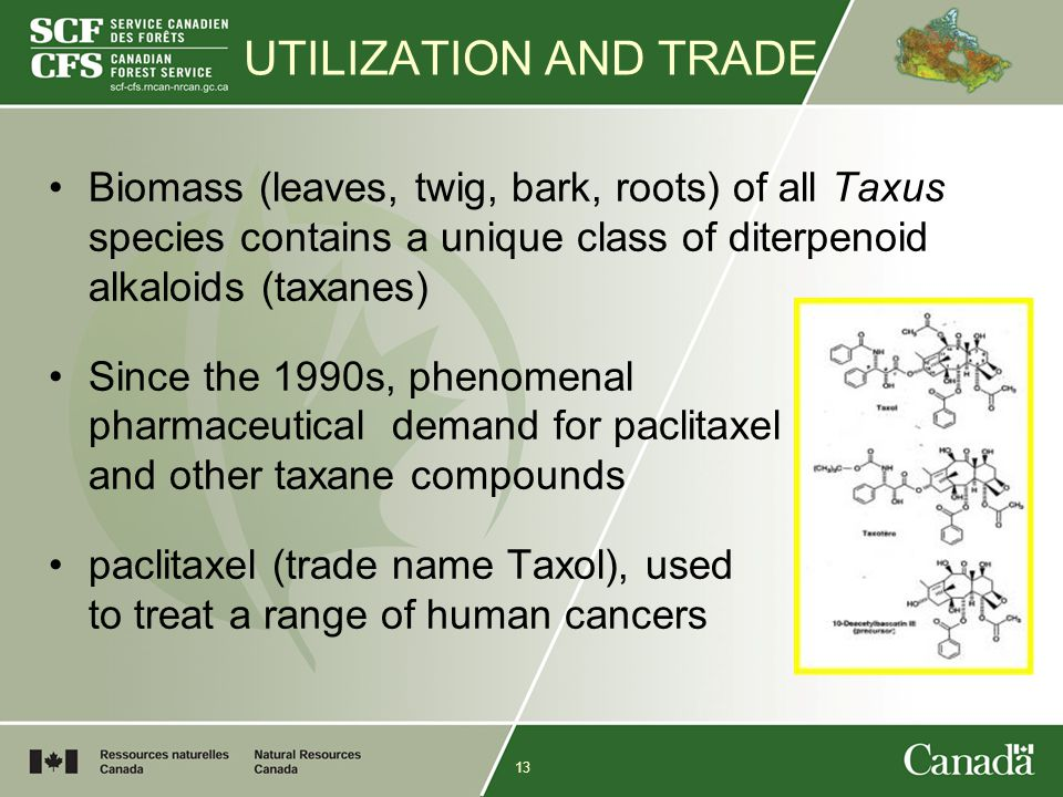 13 UTILIZATION AND TRADE Biomass (leaves, twig, bark, roots) of all Taxus species contains a unique class of diterpenoid alkaloids (taxanes) Since the 1990s, phenomenal pharmaceutical demand for paclitaxel and other taxane compounds paclitaxel (trade name Taxol), used to treat a range of human cancers