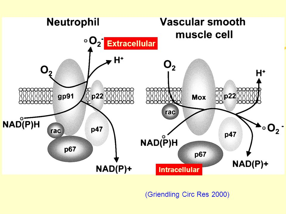 (Griendling Circ Res 2000) Extracellular Intracellular