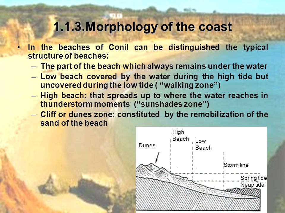 1.1.3.Morphology of the coast In the beaches of Conil can be distinguished the typical structure of beaches: –The part of the beach which always remains under the water –Low beach covered by the water during the high tide but uncovered during the low tide ( walking zone ) –High beach: that spreads up to where the water reaches in thunderstorm moments ( sunshades zone ) –Cliff or dunes zone: constituted by the remobilization of the sand of the beach Dunes High Beach Low Beach Storm line Spring tide Neap tide