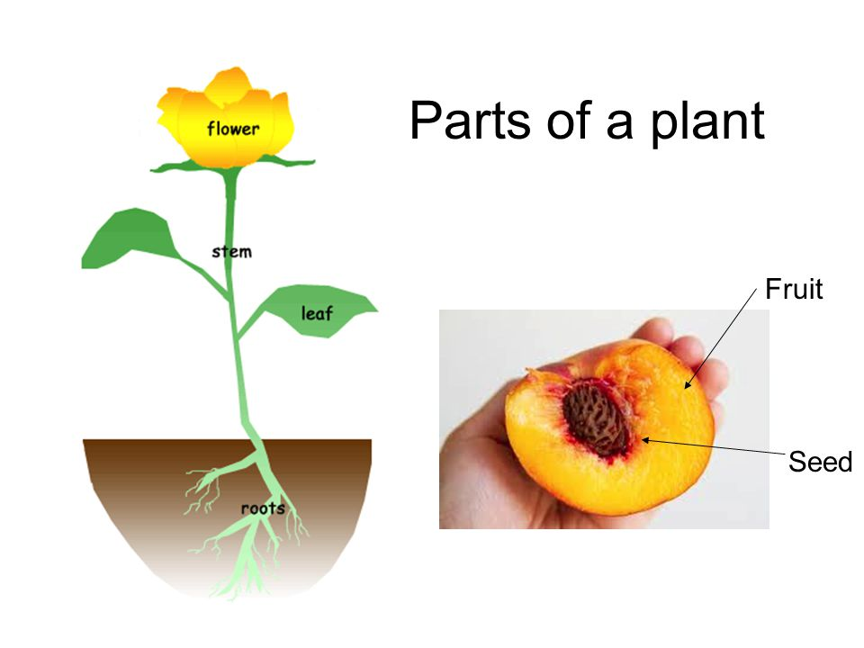 Parts of a plant Fruit Seed