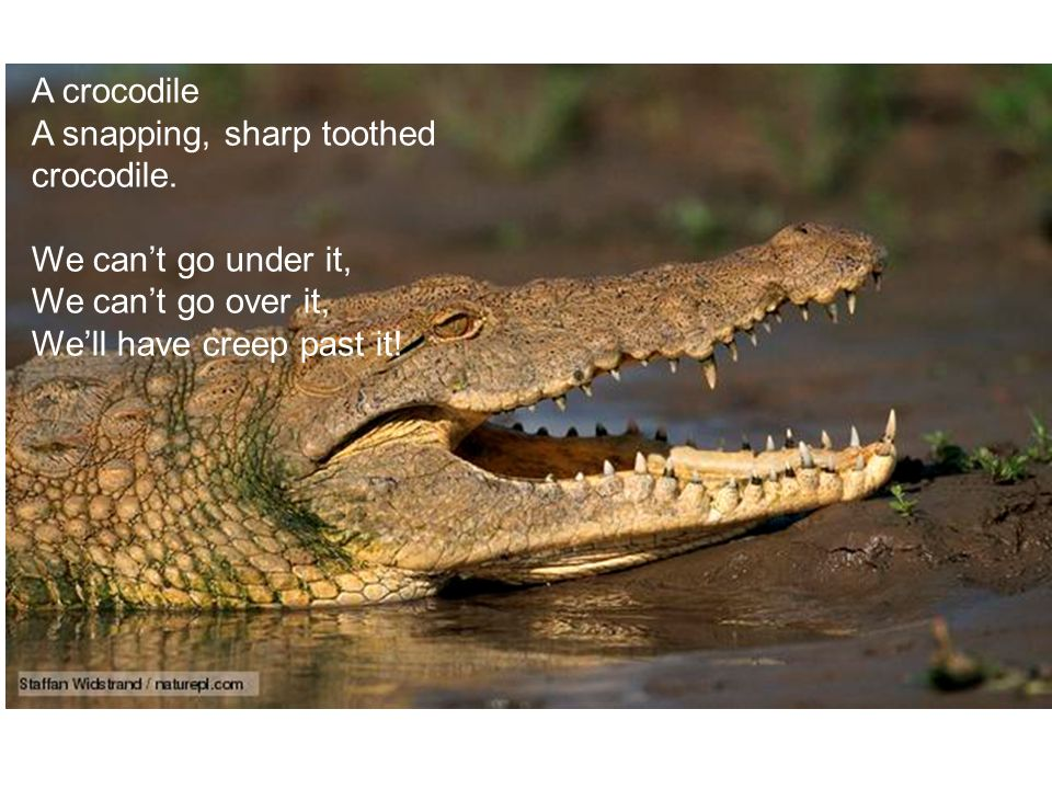 A crocodile A snapping, sharp toothed crocodile. We can't go under it, We can't go over it, We'll have creep past it!