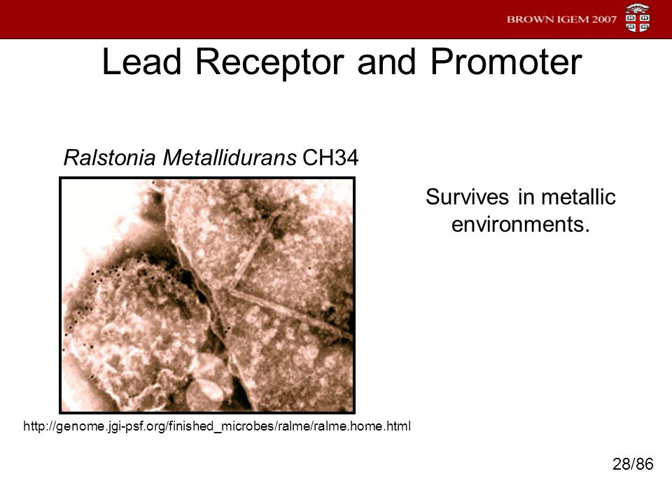 Lead Receptor and Promoter Ralstonia Metallidurans CH34 Survives in metallic environments. http://genome.jgi-psf.org/finished_microbes/ralme/ralme.hom