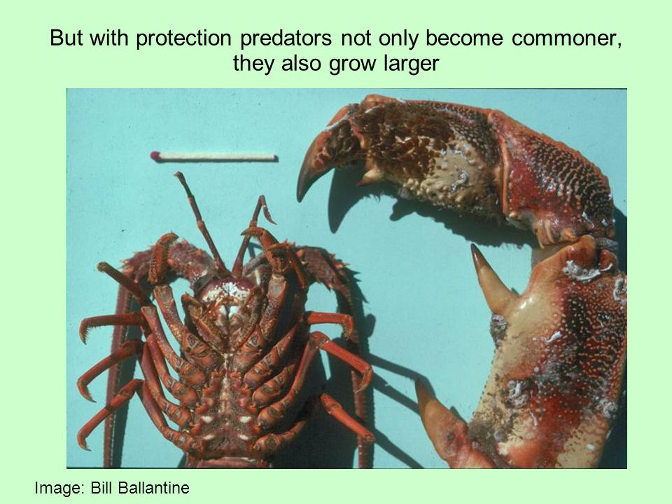 But with protection predators not only become commoner, they also grow larger Image: Bill Ballantine