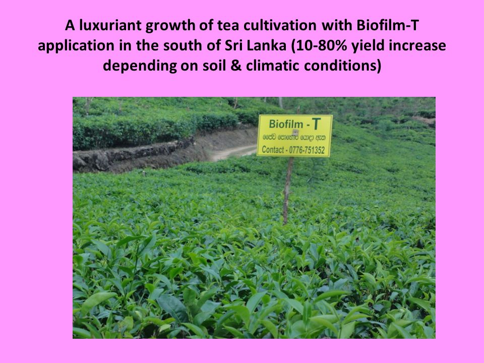 A luxuriant growth of tea cultivation with Biofilm-T application in the south of Sri Lanka (10-80% yield increase depending on soil & climatic conditions)