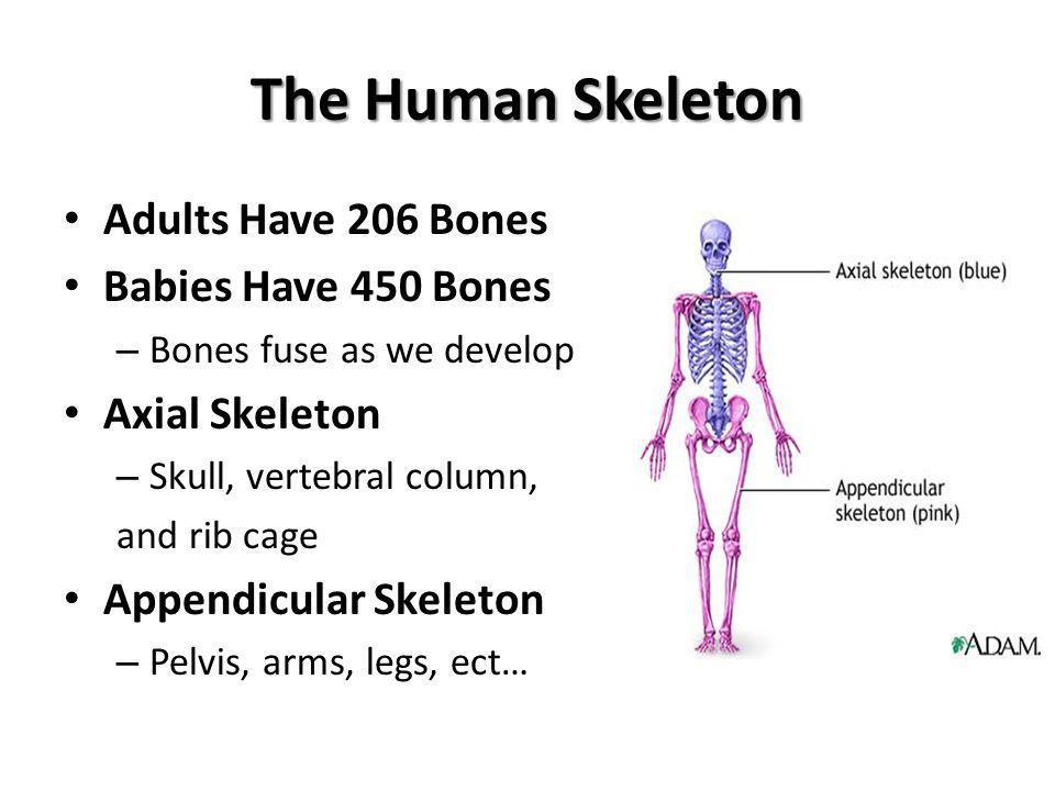 The Human Skeleton Adults Have 206 Bones Babies Have 450 Bones – Bones fuse as we develop Axial Skeleton – Skull, vertebral column, and rib cage Appen