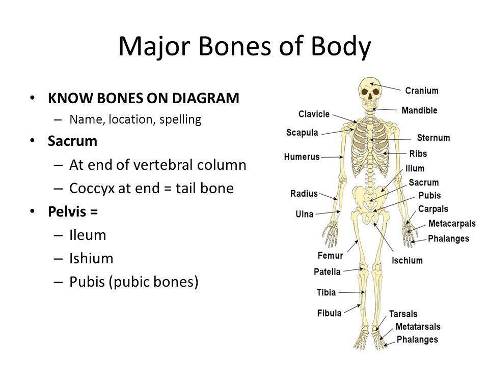 Major Bones of Body KNOW BONES ON DIAGRAM – Name, location, spelling Sacrum – At end of vertebral column – Coccyx at end = tail bone Pelvis = – Ileum