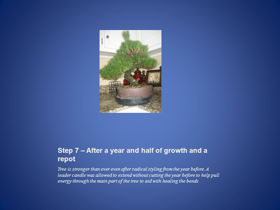 Step 7 – After a year and half of growth and a repot Tree is stronger than ever even after radical styling from the year before.