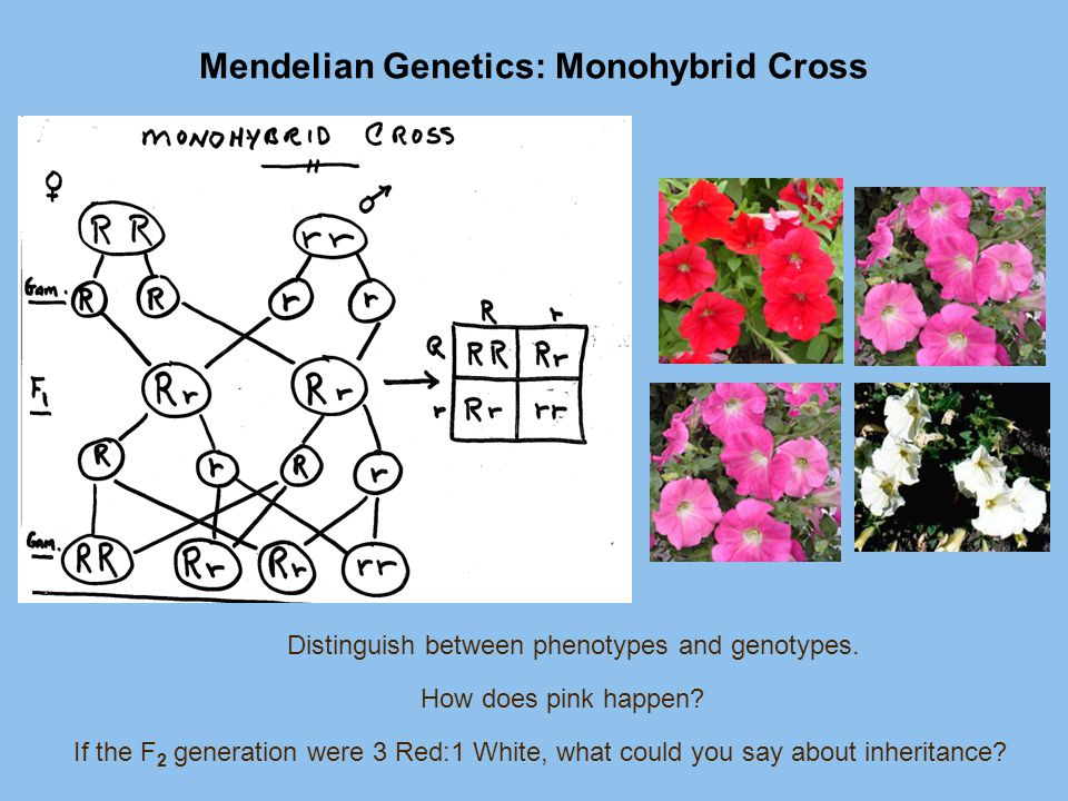 Mendelian Genetics: Monohybrid Cross How does pink happen? Distinguish between phenotypes and genotypes. If the F 2 generation were 3 Red:1 White, wha