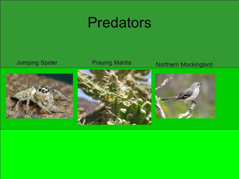 Predators Jumping SpiderPraying Mantis Northern Mockingbird