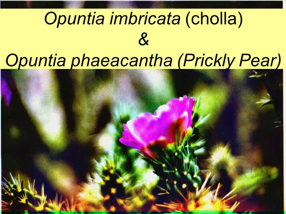 Opuntia imbricata (cholla) & Opuntia phaeacantha (Prickly Pear)