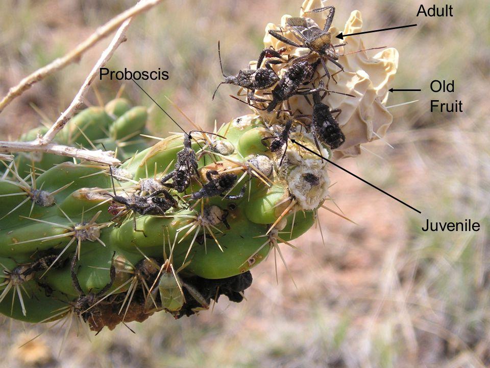 Adult Old Fruit Juvenile Proboscis