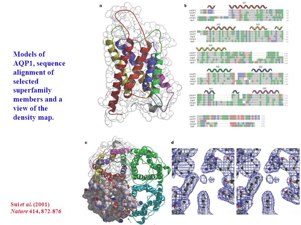 De Groot & Grubmüller Science (2001) 294: 2304-2305 Vista superior (izqda) y lateral (drcha) del tetrámero de acuaporina en una bicapa lipídica