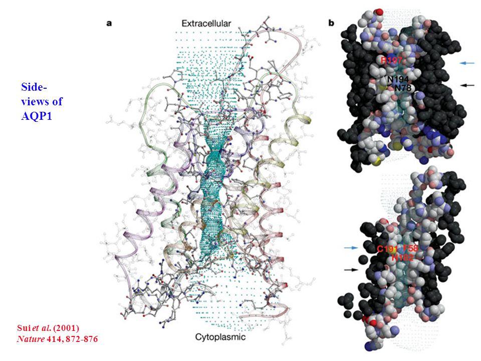 205 moléculas de agua en los alrededores del poro de la acuaporina durante la simulación por Dinámica Molecular De Groot & Grubmüller Science (2001) 294: 2304-2305