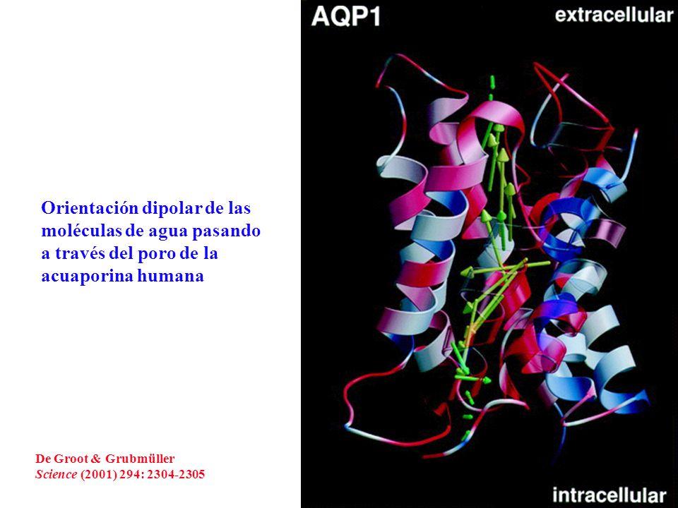 Representación esquemática del paso de las moléculas de agua a través del poro de la acuaporina humana (AQP1) y de la gliceroporina bacteriana (GlpF) De Groot & Grubmüller Science (2001) 294: 2304-2305
