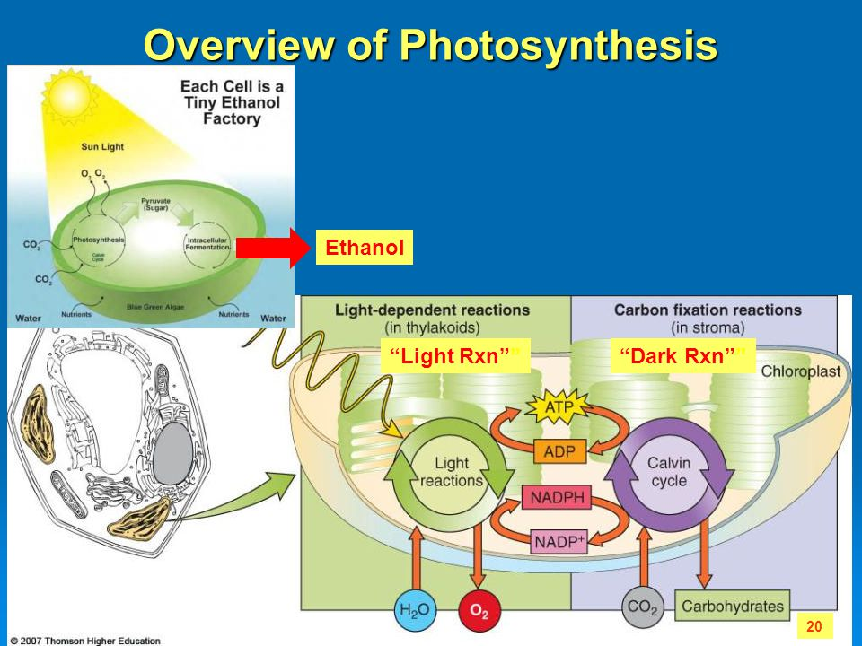 "Overview of Photosynthesis 20 ""Light Rxn""""""Dark Rxn"""" Ethanol"