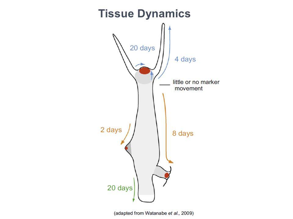 Tissue Dynamics