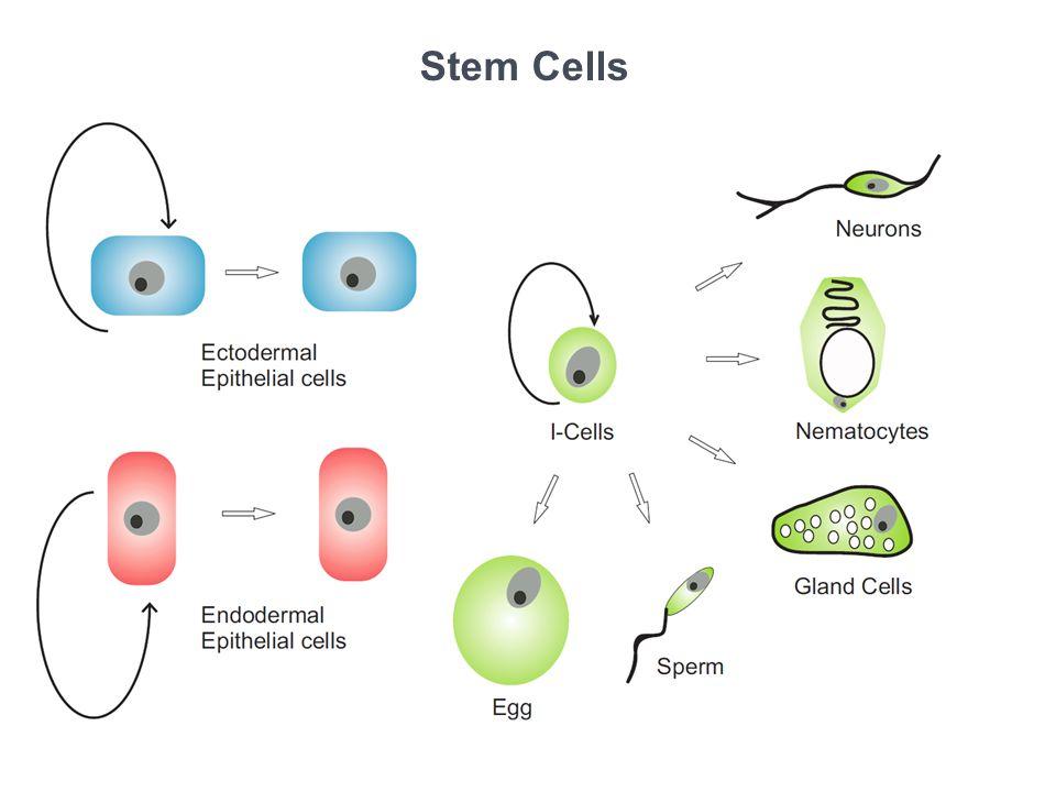 Types of Nematocysts Scale bar = 5μm