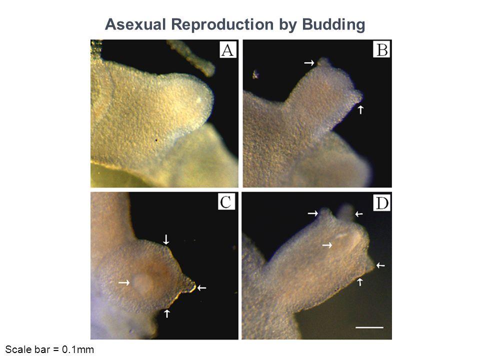 Regeneration Capacity of Hydra Longitudinal cut Trisection Traverse cut