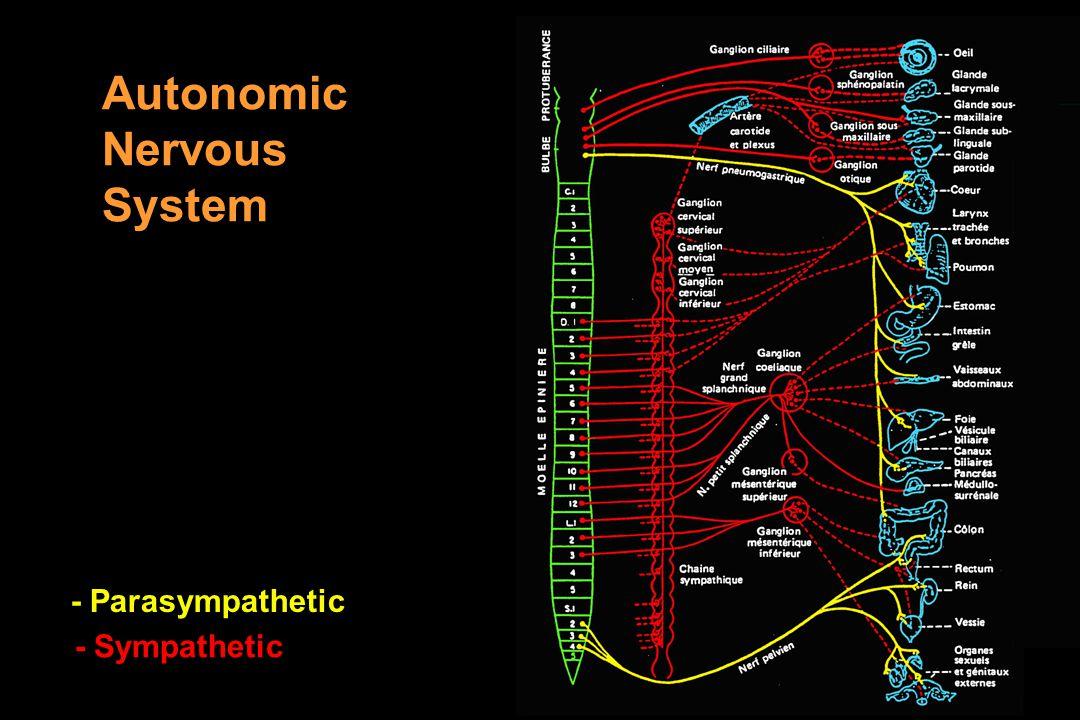 Autonomic Nervous System - Parasympathetic - Sympathetic