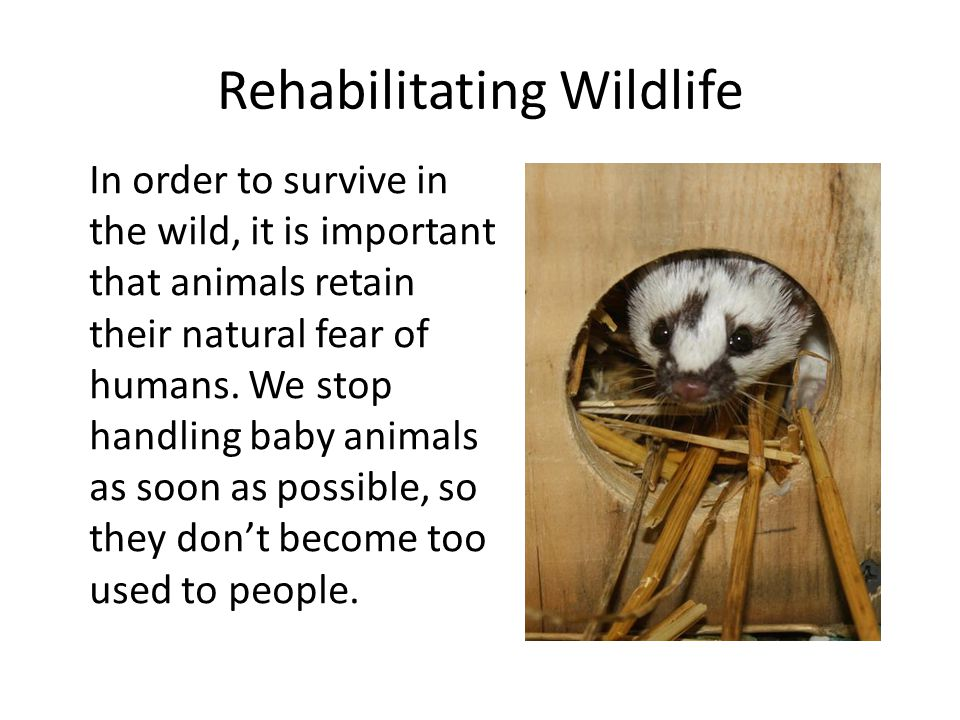 Rehabilitating Wildlife In order to survive in the wild, it is important that animals retain their natural fear of humans. We stop handling baby anima