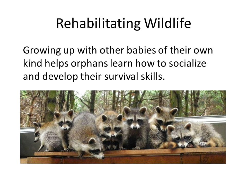 Rehabilitating Wildlife Growing up with other babies of their own kind helps orphans learn how to socialize and develop their survival skills.