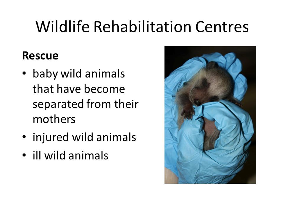 Wildlife Rehabilitation Centres Rescue baby wild animals that have become separated from their mothers injured wild animals ill wild animals