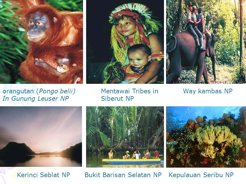 orangutan (Pongo belii) In Gunung Leuser NP Mentawai Tribes in Siberut NP Kerinci Seblat NPBukit Barisan Selatan NP Way kambas NP Kepulauan Seribu NP