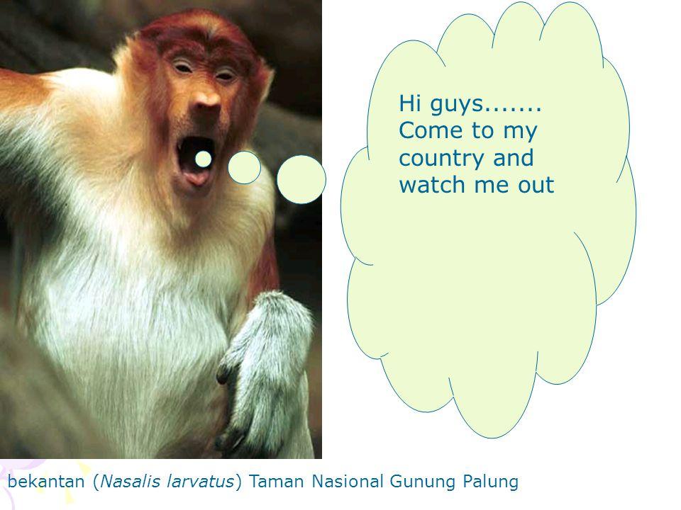 bekantan (Nasalis larvatus) Taman Nasional Gunung Palung Hi guys.......